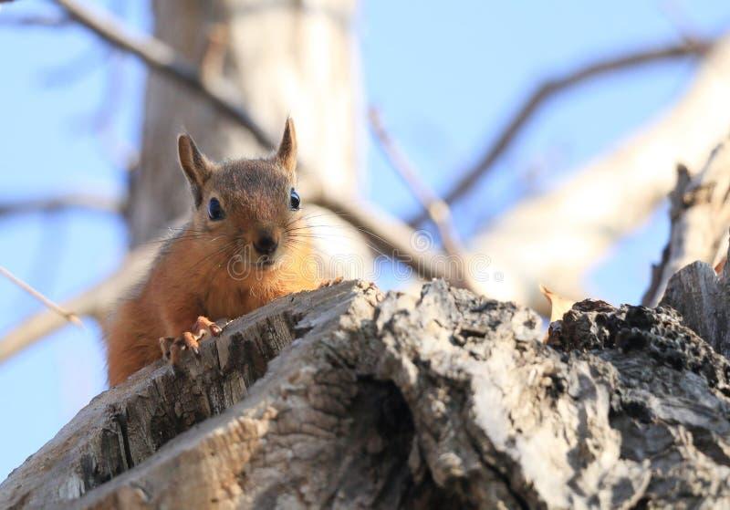 Ένας άγριος σκίουρος στοκ εικόνες με δικαίωμα ελεύθερης χρήσης