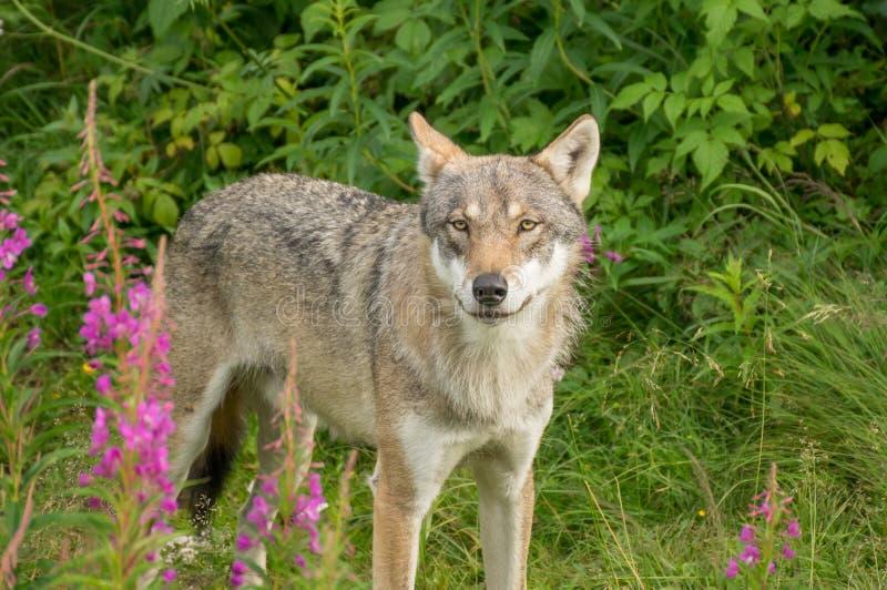 Ένας άγρυπνος λύκος στοκ εικόνες
