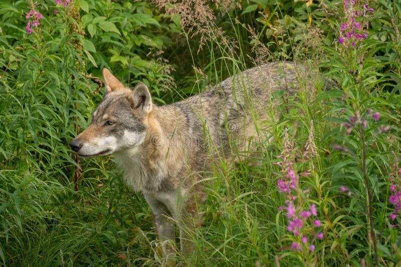 Ένας άγρυπνος λύκος στοκ φωτογραφία με δικαίωμα ελεύθερης χρήσης