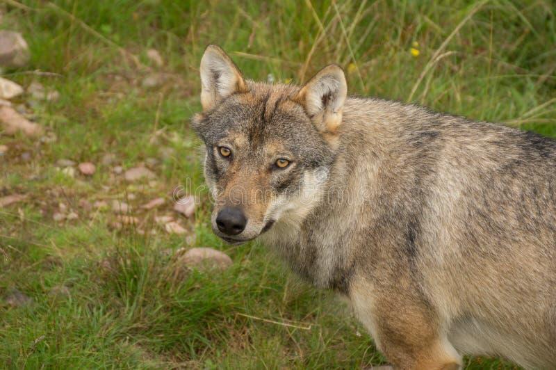 Ένας άγρυπνος λύκος στοκ εικόνα