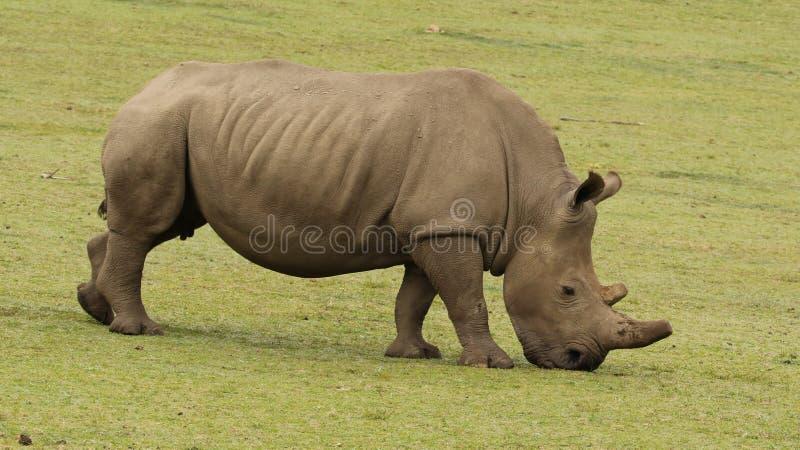 Ένας άσπρος ρινόκερος στην ιδιωτική επιφύλαξη Boteilierskop στοκ εικόνα με δικαίωμα ελεύθερης χρήσης