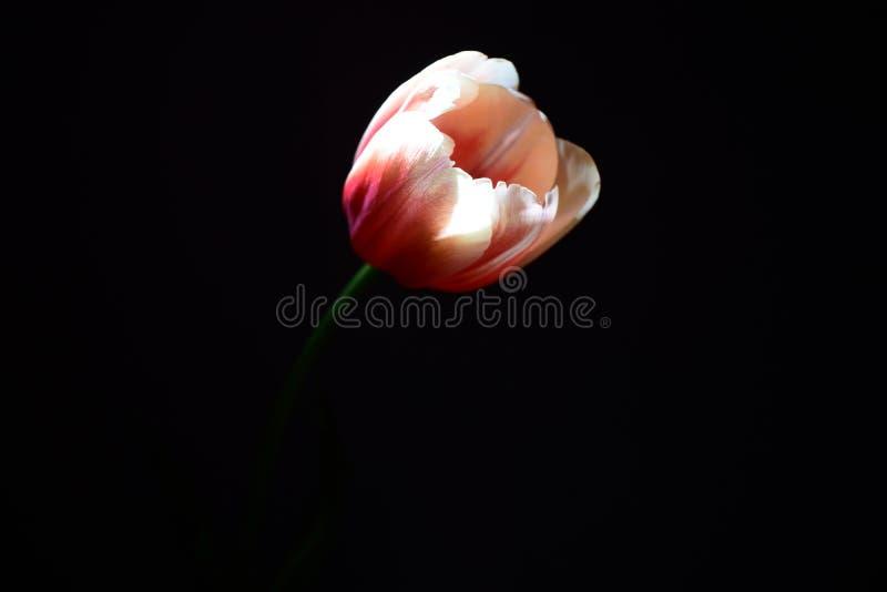 Ένας άσπρος-ρόδινος οφθαλμός τουλιπών άρπαξε από το σκοτάδι από μια ακτίνα του φωτός στοκ φωτογραφία με δικαίωμα ελεύθερης χρήσης
