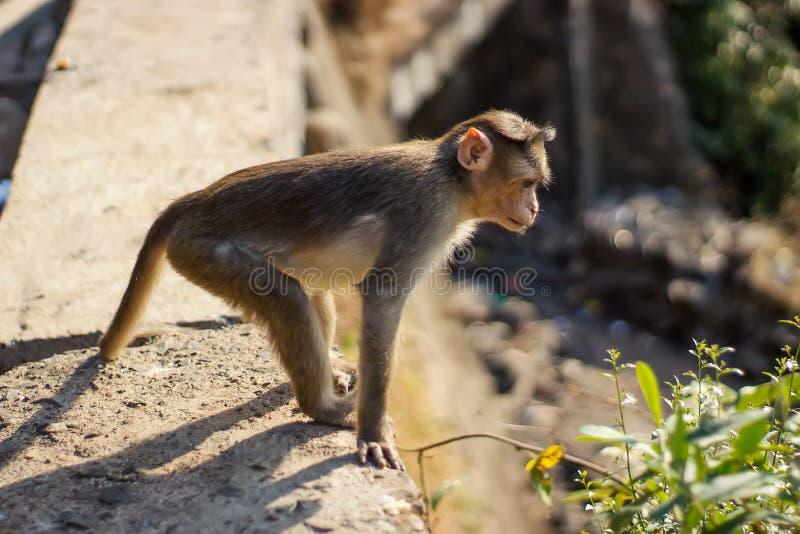 Ένας αδιάκριτος πίθηκος προσέχει κάποιο κατωτέρω στοκ φωτογραφίες