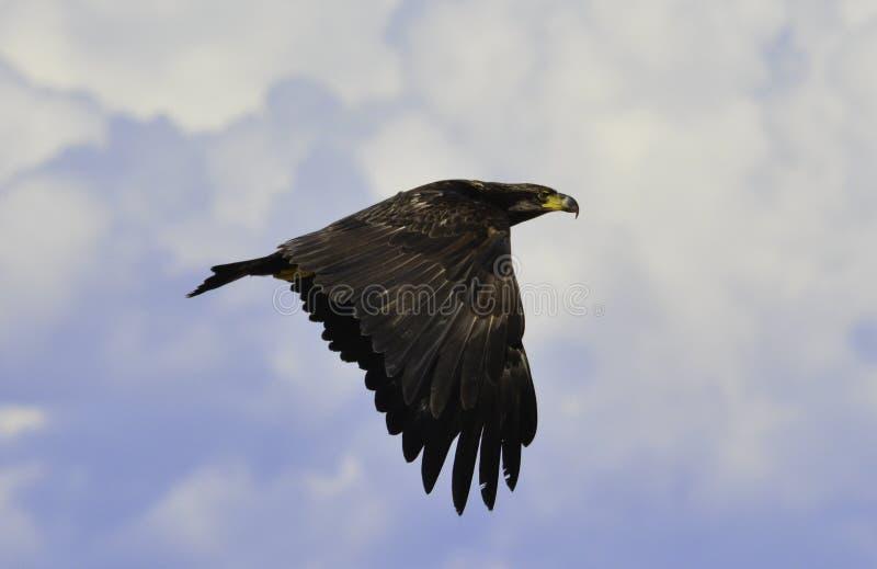 ένας αετός στον ουρανό στοκ φωτογραφία με δικαίωμα ελεύθερης χρήσης
