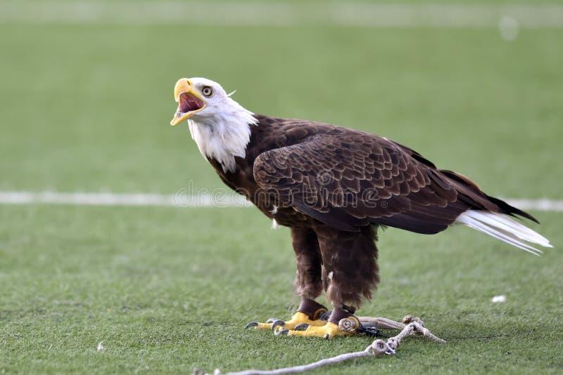 Ένας αιχμάλωτος φαλακρός αετός απαιτεί στοκ φωτογραφίες