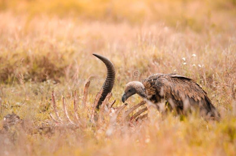 Ένας απομονωμένος λευκόραχος γύπας που σαρώνει στο σφάγιο, εθνικό πάρκο Kruger, μια επιφύλαξη παιχνιδιού στη Νότια Αφρική στοκ εικόνα με δικαίωμα ελεύθερης χρήσης