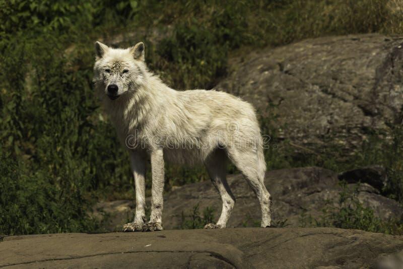 Ένας απόμερος αρκτικός λύκος στοκ φωτογραφία με δικαίωμα ελεύθερης χρήσης