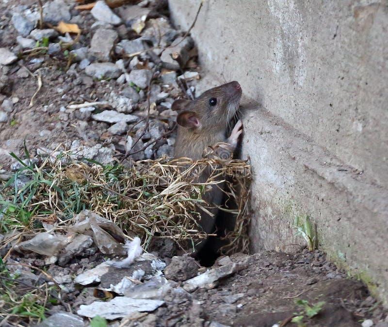 Ένας αρουραίος σέρνεται από μια τρύπα στο έδαφος στοκ εικόνες με δικαίωμα ελεύθερης χρήσης