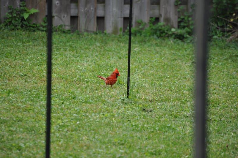 Ένας αρσενικός καρδινάλιος πέφτει στην αυλή στοκ φωτογραφία με δικαίωμα ελεύθερης χρήσης