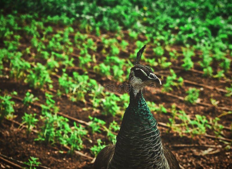 Ένας αρσενικός peacock σε έναν δημόσιο κήπο στοκ εικόνες
