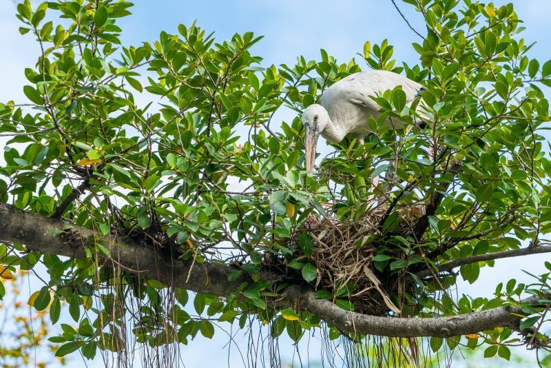 Ένας ασιατικός πελαργός openbill στηρίζεται μια φωλιά σε ένα δέντρο στοκ φωτογραφίες με δικαίωμα ελεύθερης χρήσης