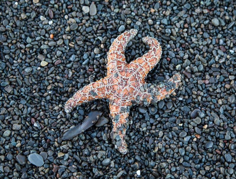 Ένας αστερίας στη βόρεια χαμένη ακτή Καλιφόρνιας κοντά στην παραλία Mattole σε Petrolia στοκ φωτογραφία
