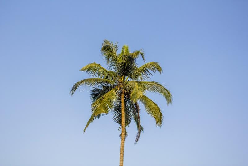 Ένας βεραμάν φοίνικας με τις καρύδες ενάντια σε έναν σαφή μπλε ουρανό στοκ φωτογραφία