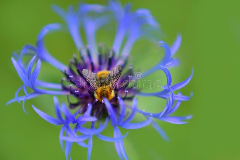Ένας βόμβος Bumblebbe γύρω από την επίσκεψη του λουλουδιού στοκ εικόνα με δικαίωμα ελεύθερης χρήσης