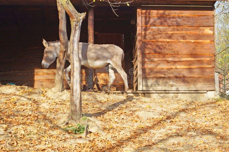 Ένας γάιδαρος με την γκρίζα γούνα στέκεται κοντά στη μάνδρα στοκ φωτογραφίες με δικαίωμα ελεύθερης χρήσης