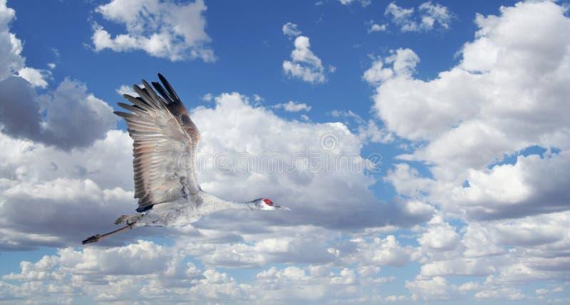 Ένας γερανός Sandhill ενάντια σε έναν νεφελώδη ουρανό στοκ εικόνες