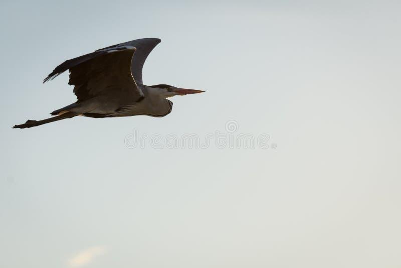 Ένας γκρίζος ερωδιός κατά την πτήση στοκ εικόνες