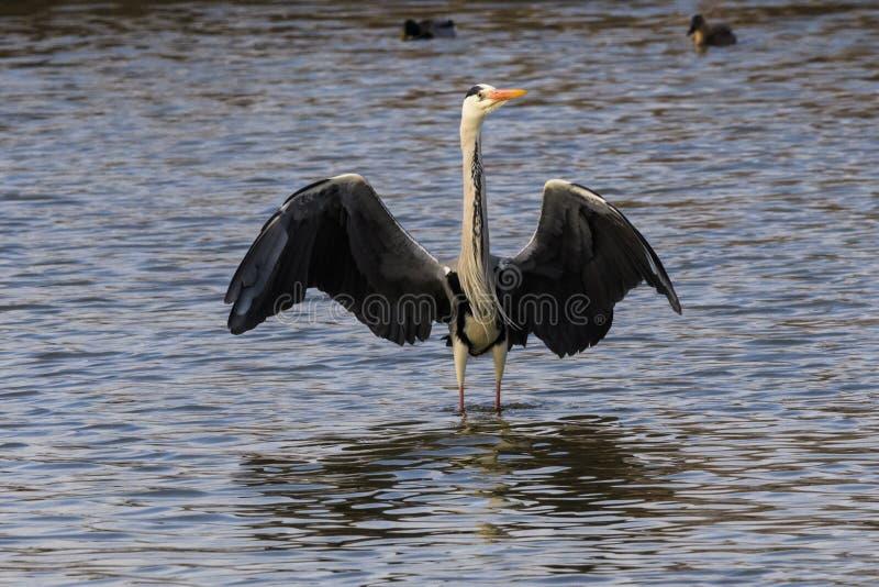 Ένας γκρίζος ερωδιός που στέκεται στο νερό με ευρύ ανοικτό φτερών στοκ φωτογραφίες με δικαίωμα ελεύθερης χρήσης