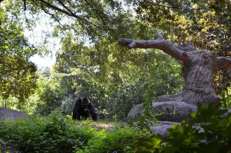 Ένας γορίλλας στο ζωολογικό κήπο στοκ φωτογραφία
