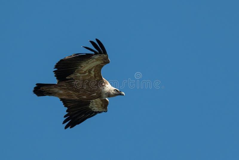 Ένας γύπας griffon που πετά στο μπλε ουρανό στοκ φωτογραφίες με δικαίωμα ελεύθερης χρήσης
