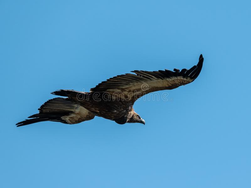 Ένας γύπας griffon που πετά στο μπλε ουρανό στοκ φωτογραφίες