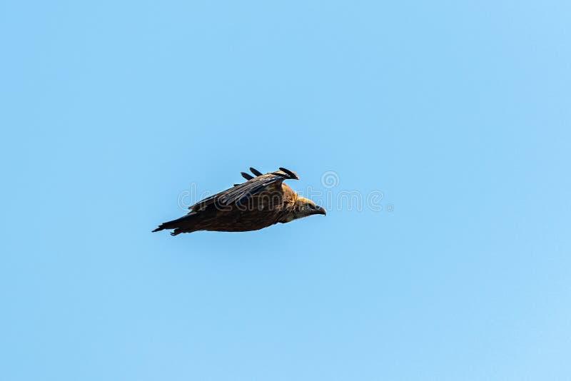 Ένας γύπας griffon που πετά στο μπλε ουρανό στοκ φωτογραφία