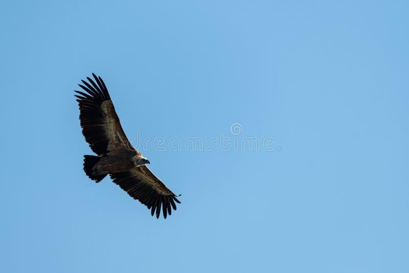 Ένας γύπας griffon που πετά στο μπλε ουρανό στοκ εικόνα