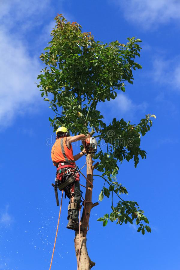 Ένας δενδροκόμος που περιορίζει ένα δέντρο αβοκάντο με ένα αλυσιδοπρίονο στοκ φωτογραφία με δικαίωμα ελεύθερης χρήσης