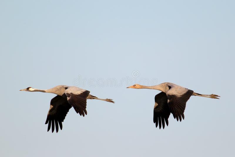 Ένας ενήλικος και νέος γκρίζος γερανός κατά την πτήση στοκ φωτογραφίες