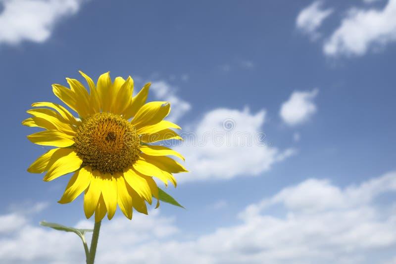 Ένας ενιαίος ηλίανθος με το νεφελώδη μπλε ουρανό στοκ εικόνα με δικαίωμα ελεύθερης χρήσης