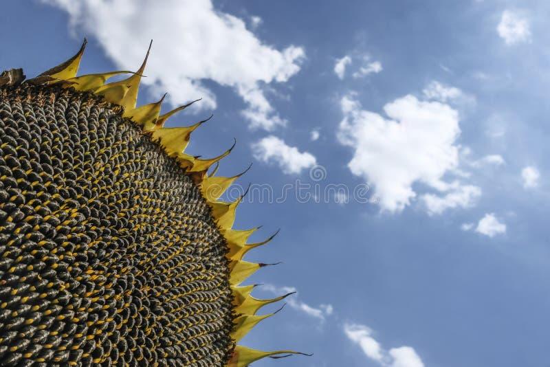 Ένας ενιαίος ηλίανθος με το νεφελώδη μπλε ουρανό στοκ φωτογραφία με δικαίωμα ελεύθερης χρήσης