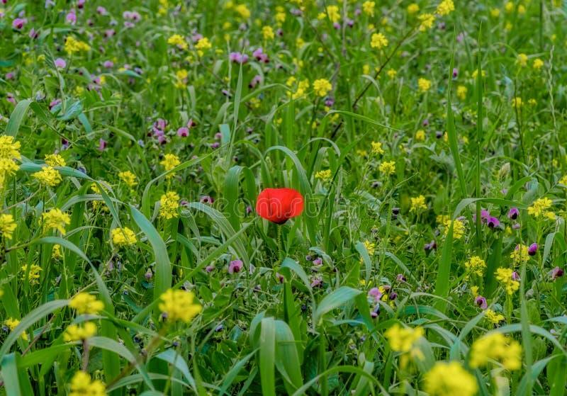 Ένας ενιαίος τομέας λουλουδιών παπαρουνών την άνοιξη στοκ φωτογραφίες με δικαίωμα ελεύθερης χρήσης