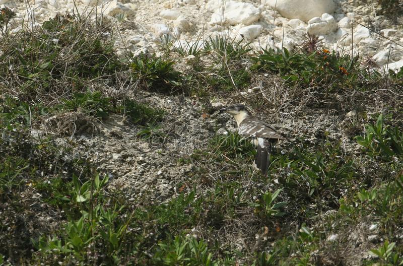 Ένας εξαιρετικά σπάνιος μεγάλος επισημασμένος κούκος, glandarius Clamator, που κυνηγά σε έναν απότομο βράχο στο Isle of Wight για στοκ φωτογραφίες με δικαίωμα ελεύθερης χρήσης