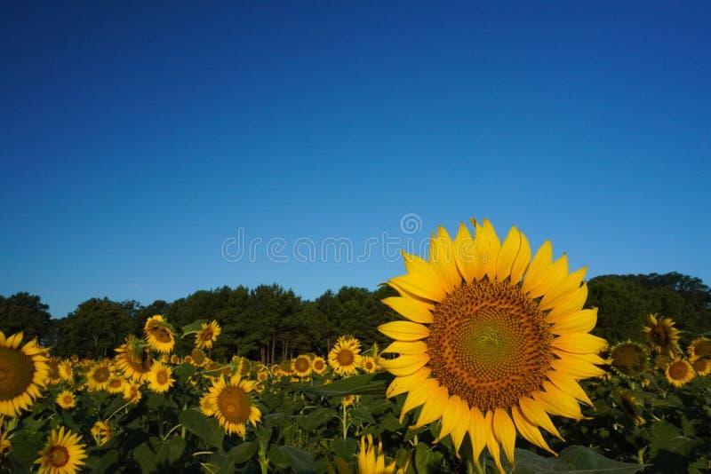 Ένας ηλίανθος ανθίζει κάτω από έναν φωτεινό μπλε ουρανό το καλοκαίρι στοκ εικόνα