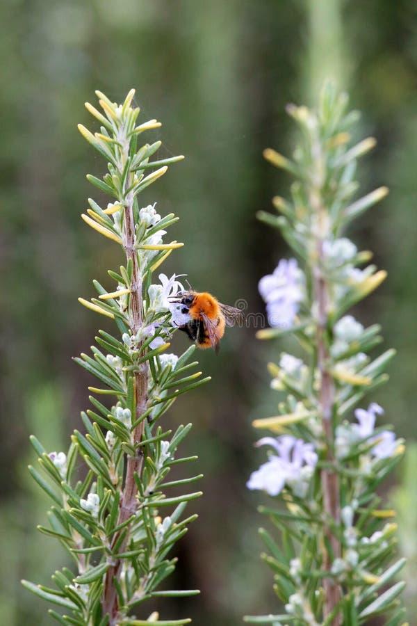 Ένας θάμνος δεντρολιβάνου με bumblebee στοκ εικόνα με δικαίωμα ελεύθερης χρήσης