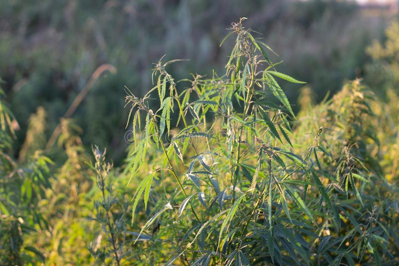 Ένας θάμνος μαριχουάνα, με τους ισχυρούς κλάδους στους οποίους ώριμοι σπόροι στοκ φωτογραφία με δικαίωμα ελεύθερης χρήσης