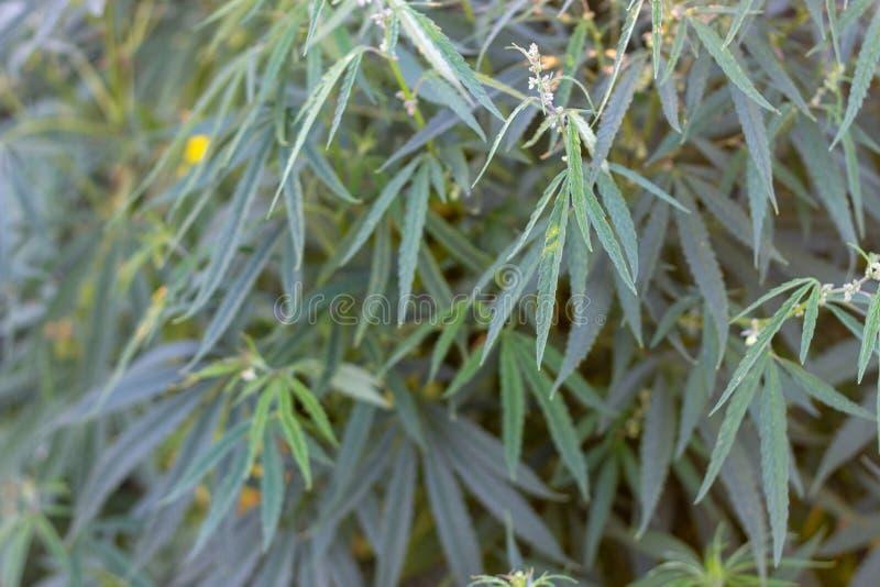 Ένας θάμνος μαριχουάνα, με τους ισχυρούς κλάδους στους οποίους ώριμοι σπόροι στοκ εικόνα