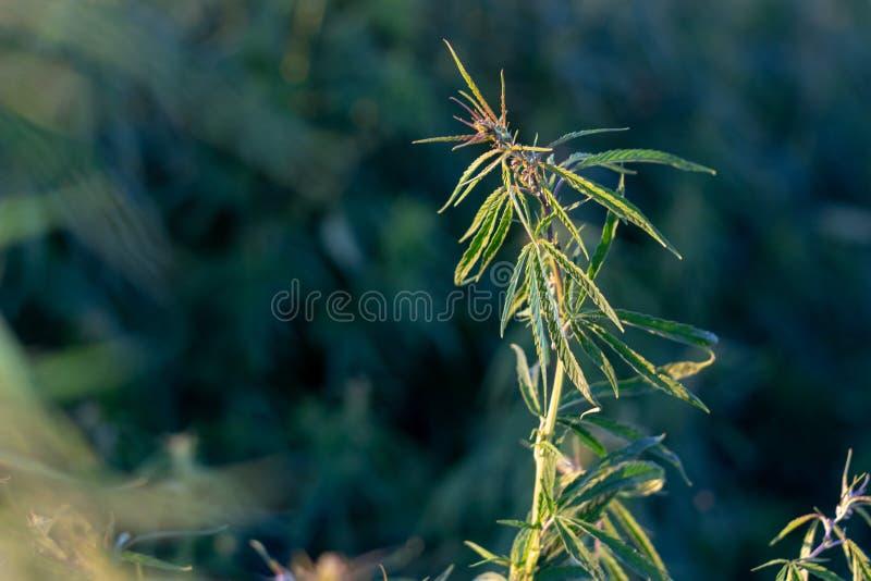 Ένας θάμνος μαριχουάνα, με τους ισχυρούς κλάδους στους οποίους ώριμοι σπόροι στοκ φωτογραφία