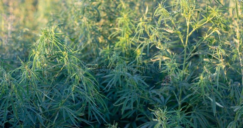 Ένας θάμνος μαριχουάνα, με τους ισχυρούς κλάδους στους οποίους ώριμοι σπόροι στοκ φωτογραφίες με δικαίωμα ελεύθερης χρήσης