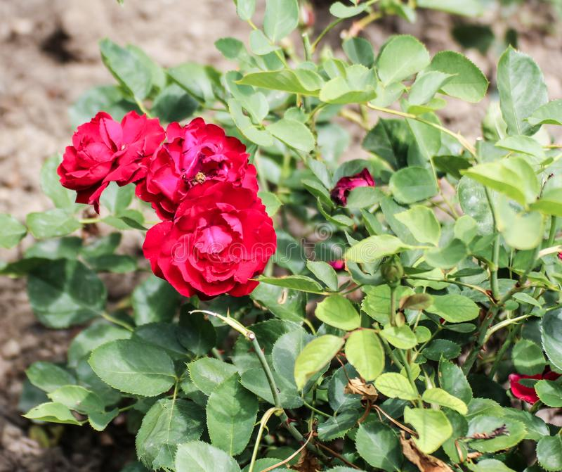 Ένας θάμνος με τα φωτεινά τριαντάφυλλα στοκ φωτογραφία