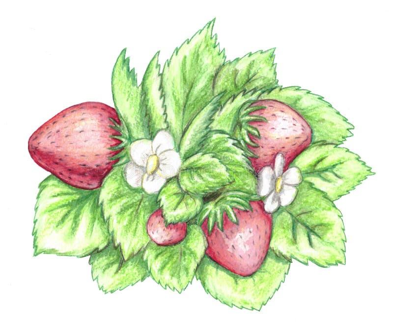 Μπους της φράουλας με τα λουλούδια διανυσματική απεικόνιση