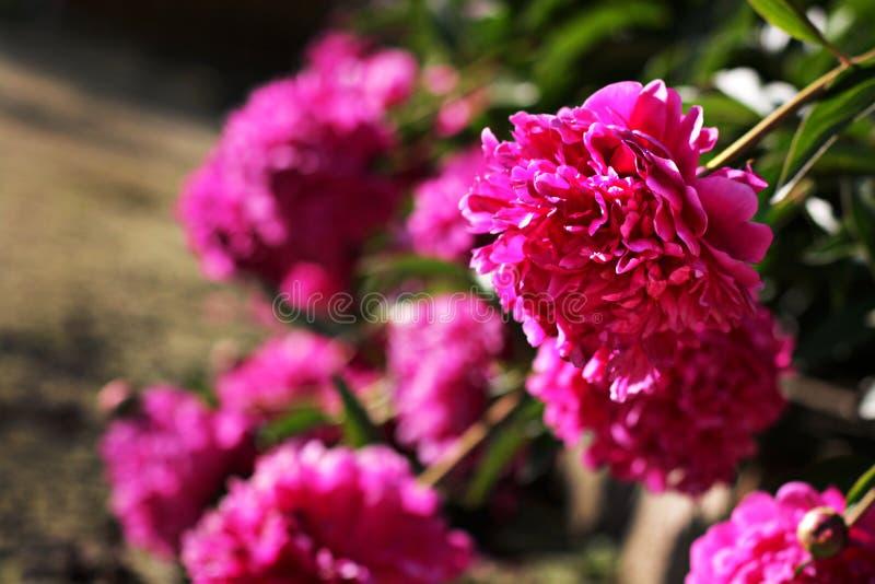 Ένας θάμνος των ρόδινων λουλουδιών στοκ εικόνα με δικαίωμα ελεύθερης χρήσης