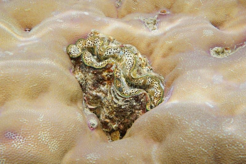 Ένας θαλάσσιος δίλοβος Ειρηνικός Ωκεανός μαλακίων μεγίστων μαλακίων στοκ φωτογραφία με δικαίωμα ελεύθερης χρήσης