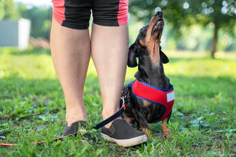 Ένας ιδιοκτήτης που δίνει ένα σήμα χεριών σε ένα μικρό σκυλί φυλής dachshund για την εντολή κάθεται Κατάρτιση υπακοής στοκ εικόνα με δικαίωμα ελεύθερης χρήσης