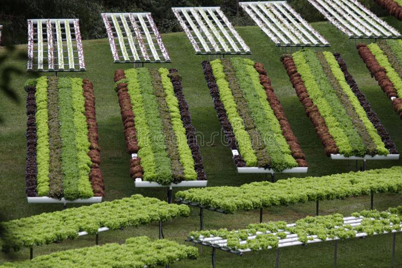 Ένας κήπος μαρουλιού που αυξάνεται με την υδροπονική καλλιέργεια στοκ εικόνα με δικαίωμα ελεύθερης χρήσης