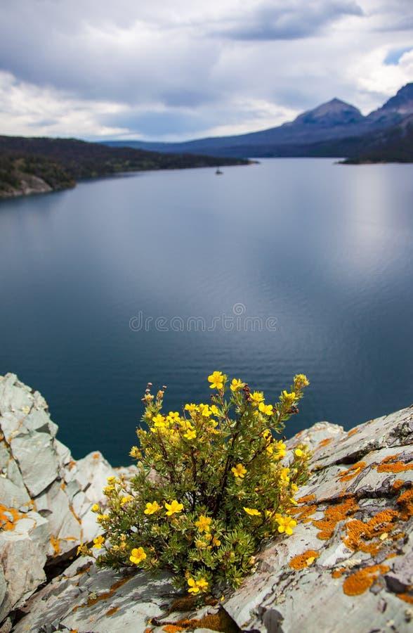 Ένας κίτρινος θάμνος cinquefoil στη λίμνη του ST Mary στο εθνικό πάρκο παγετώνων, Μοντάνα στοκ φωτογραφία με δικαίωμα ελεύθερης χρήσης