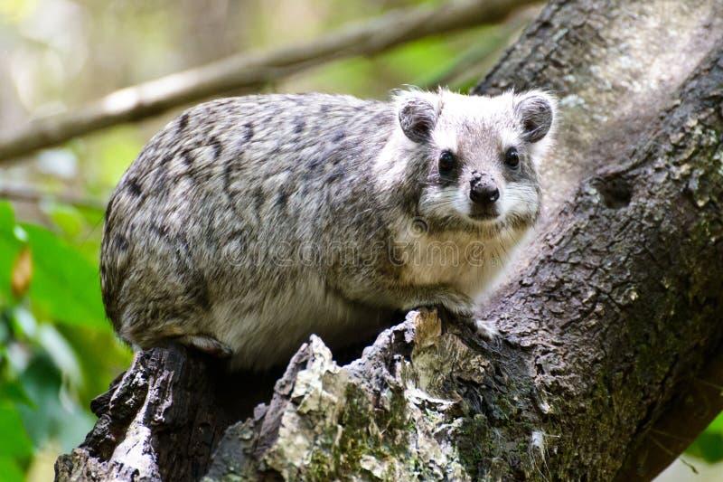 Ένας καλός βράχος hyrax στοκ εικόνα
