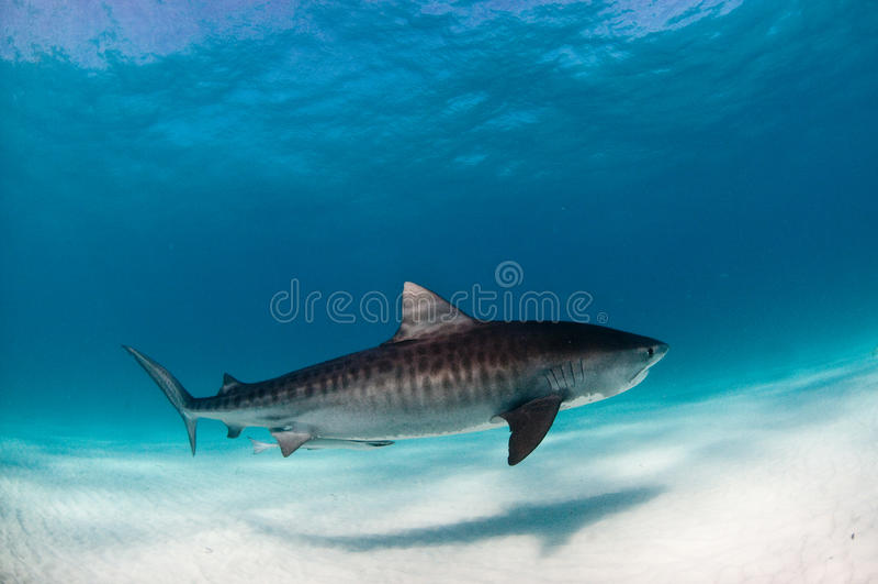 Ένας καρχαρίας τιγρών που κολυμπά ειρηνικά στο σαφές, μπλε νερό στοκ εικόνα
