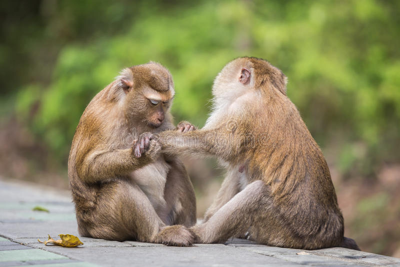 Ένας καφετής πίθηκος που ελέγχει για τους ψύλλους και τους κρότωνες στο θηλυκό στοκ φωτογραφία
