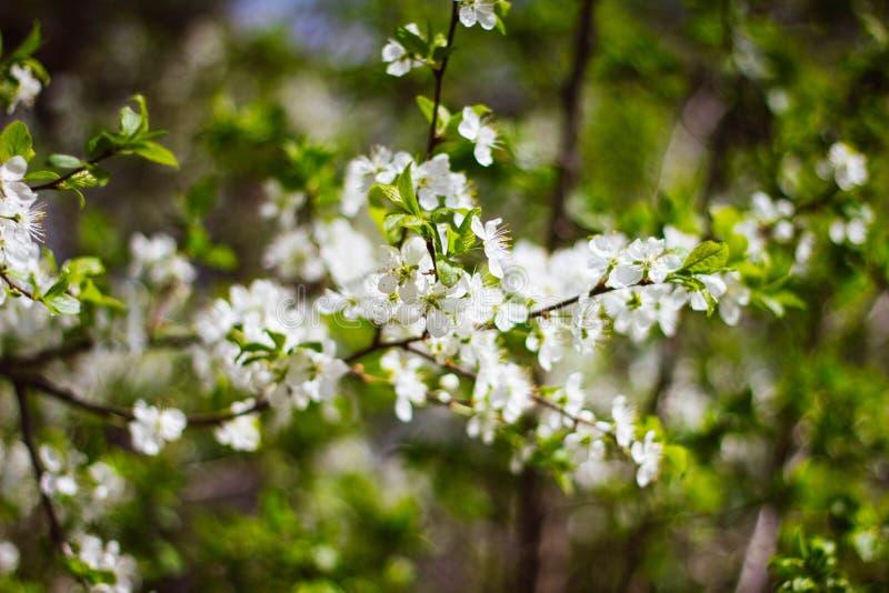 Ένας κλάδος ενός άσπρου ανθίζοντας δέντρου της Apple σε ένα υπόβαθρο του πράσινου φυλλώματος o Ανθίζοντας δέντρα κήπων την άνοιξη στοκ εικόνες με δικαίωμα ελεύθερης χρήσης